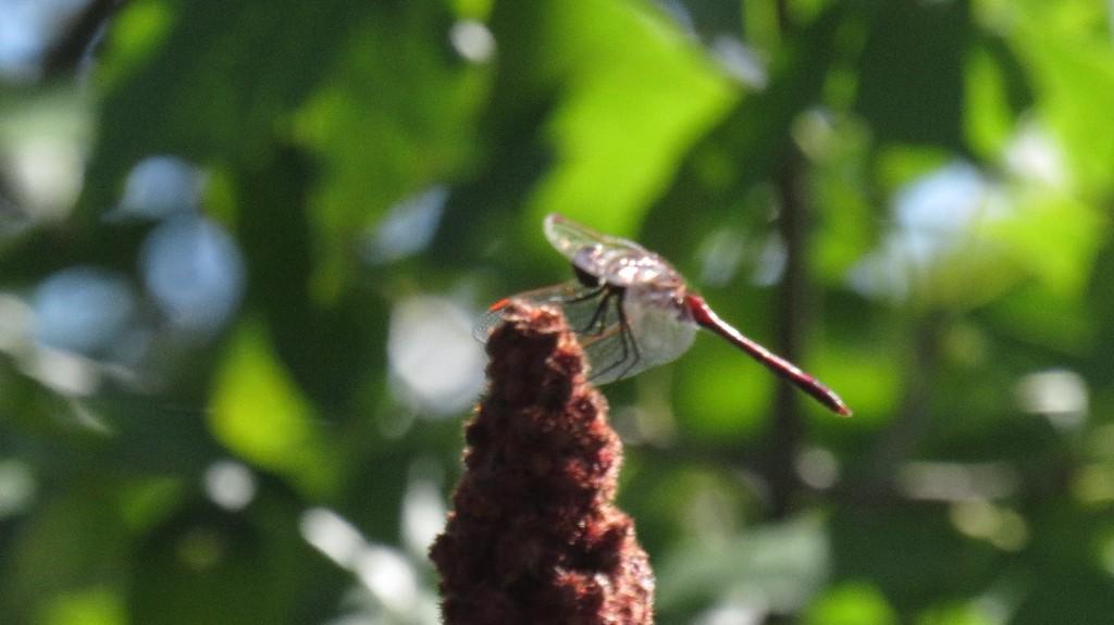 Demoiselle sur le fruit d'un sumac vinaigrier