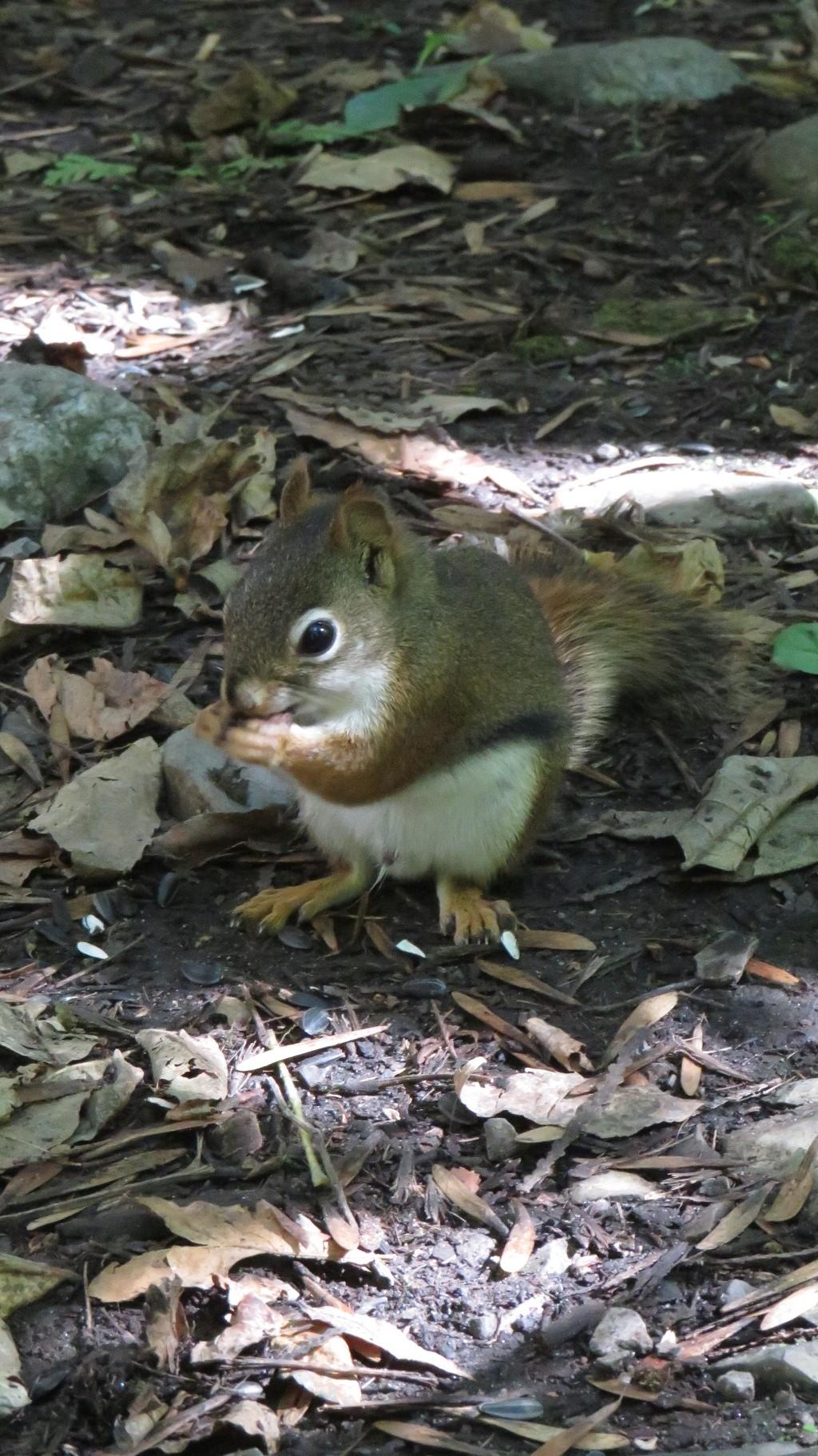 Un écureuil roux sur le sentier